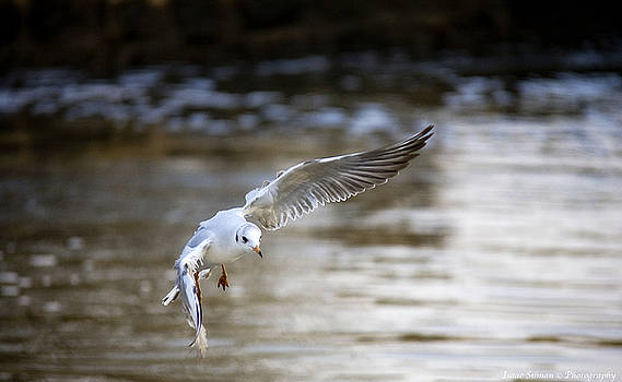 Seagull coming for landing. by Isaac Silman