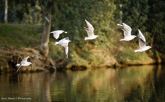 Seagulls flying Above The river by Isaac Silman