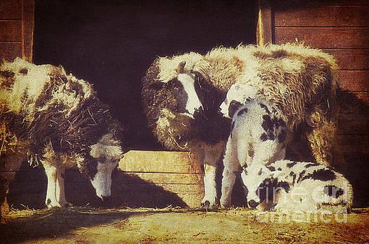 Angela Doelling AD DESIGN Photo and PhotoArt - Sheep
