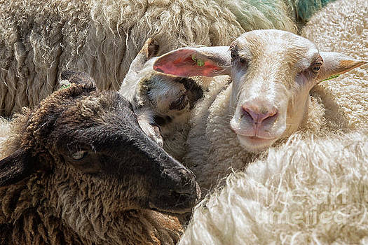 Sheep in close up by Patricia Hofmeester