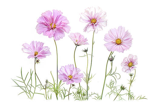Simply Cosmos by Jacky Parker