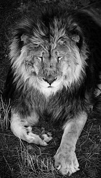 Sleepy Lion by Jason Moynihan