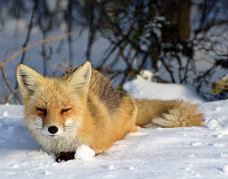 Sleepy little fox by Sami Martin