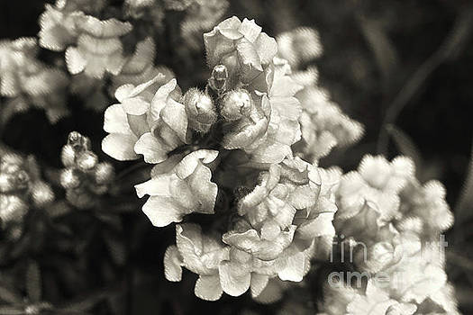 Snapdragons by Cassandra Buckley