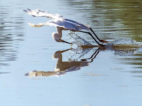 Tam Ryan - Snowy Egret Fishing