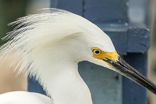 Snowy Egret Marco Island by Toni Thomas