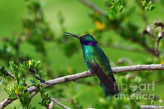 James Brunker - Sparkling Violetear Hummingbird