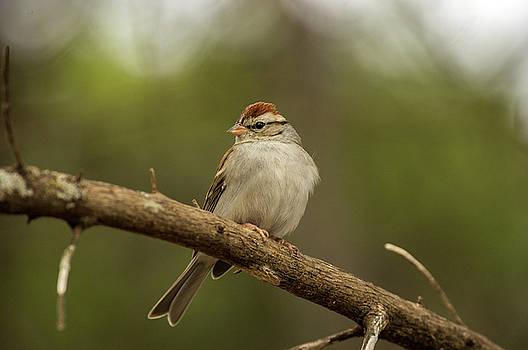 Sparrow by Bob Marquis