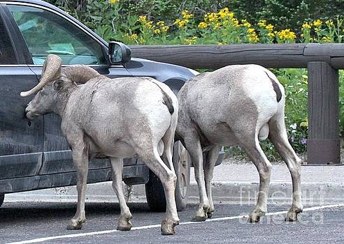 Adam Jewell - Subaru With Bighorn Sheep