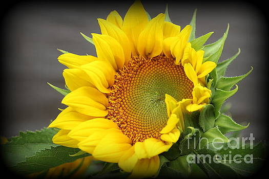 Sunflower Beauty by Dora Sofia Caputo Photographic Art and Design