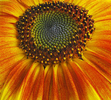 Sunflower center by Elvira Butler