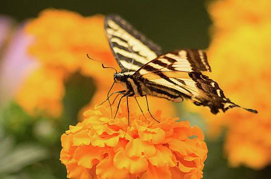 Swallowtail Butterfly 2 by Marilyn Wilson