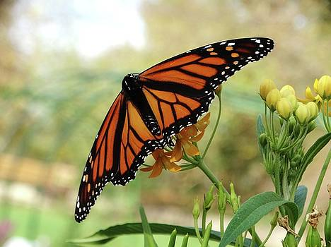 The Mighty Monarch Butterfly by Rebecca Overton