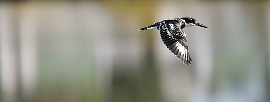 The Pied Kingfisher... by Werner Lehmann