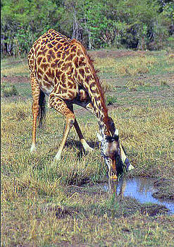 Thirsty Giraffe by Carol J  South