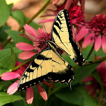 Tiger Swallowtail Butterfly by Charles Shedd