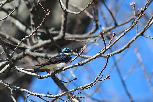 Rosanne Jordan - Tree Swallow