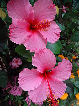 Tropical Hibiscus by Rebecca Overton
