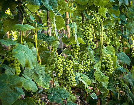 Vineyard by Jen Morrison