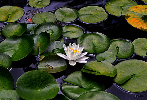 Water Lily 017 by George Bostian