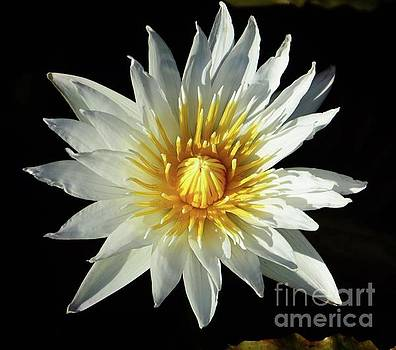 Water Lily close up by Cindy Manero