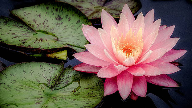 Julie Palencia - Water Lily in Pink