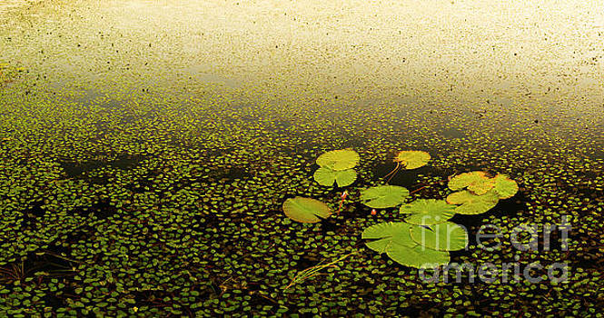 Water Lily Pads by Tim Hester