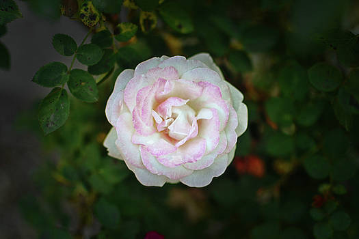 White And Pink Rose 003 by George Bostian
