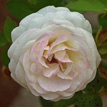 White And Pink Rose 004 by George Bostian