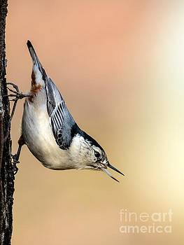 White Breasted Nuthatch by Debbie Green