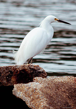 White Egret  by Debra Forand