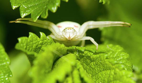 White flower spider by Jouko Mikkola