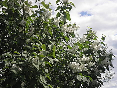 Kate Gallagher - White Lilacs