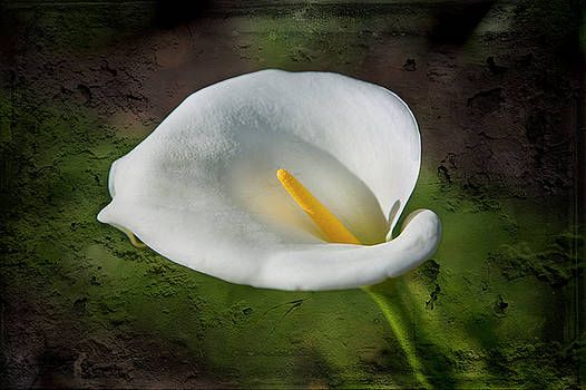 White Lily by David Hare