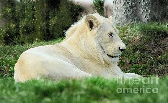 White Lion   male by Elaine Manley
