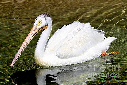 White Pelican by Ken Keener