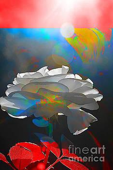 White Rose by Elaine Hunter