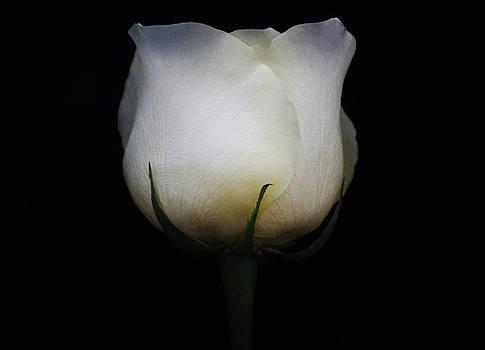 White Rosebud by Carol Welsh