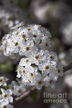 White Spring Blossom by Joy Watson