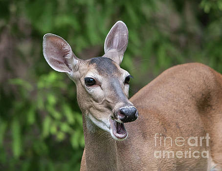 White Tailed Deer No. 2 by John Greco