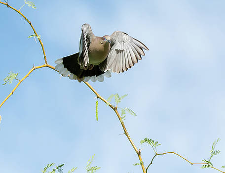 White-winged Dove by Tam Ryan