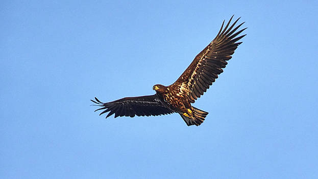 Whitetailed eagle by Jouko Lehto