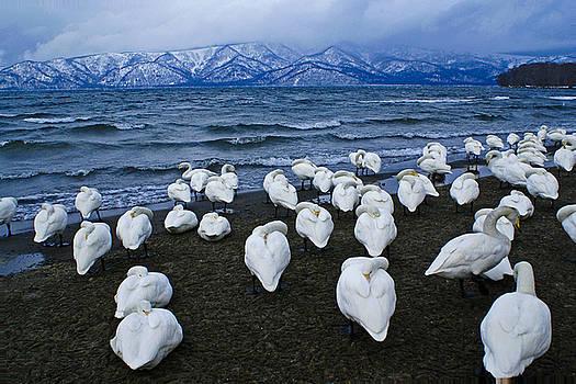 Michele Burgess - Whooper Swans in Winter