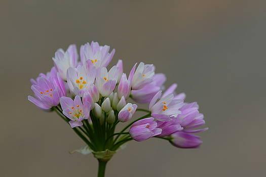 Wild Garlic by Richard Patmore