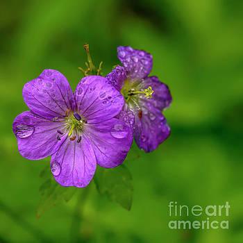 Wild Geranium with Raindrops by Thomas R Fletcher