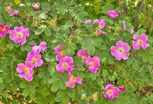 Wild Roses by Jim Sauchyn