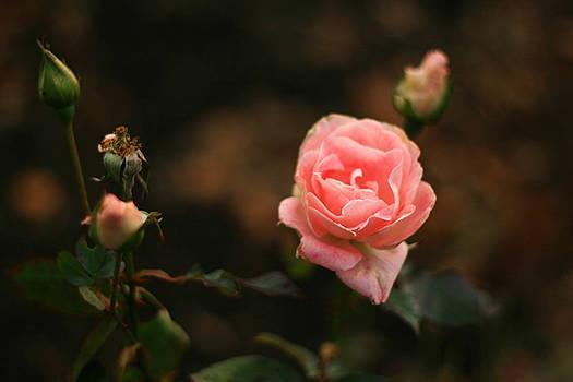 Terry Perham - Winter Pink