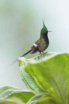 Wire-crested Thorntail in Ecuador by Juan Carlos Vindas