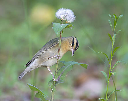 Worm Eating Warbler by Jim E Johnson