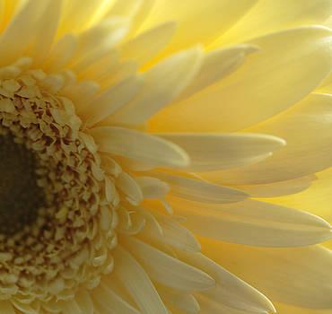 Yellow Gerber Daisy by Joan Powell